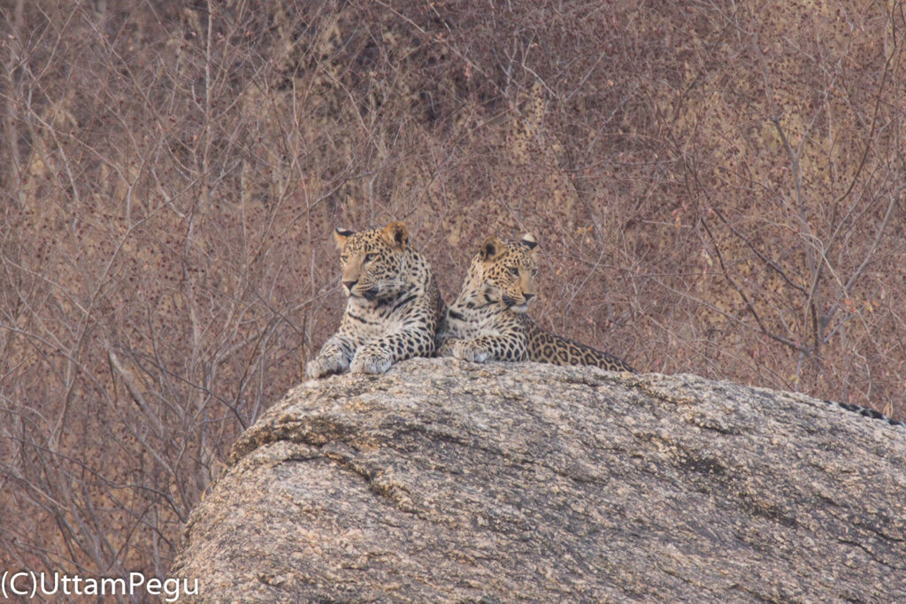 Leopards Near Jawai