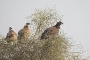 Cinerous-Vulture-Griffon