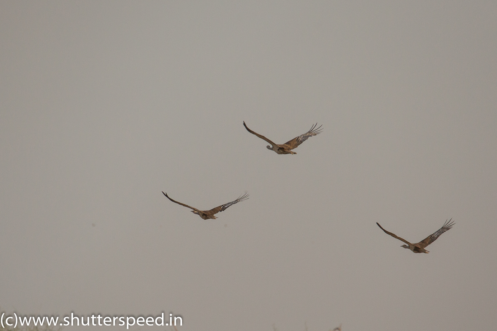 Record of Great Indian Bustard