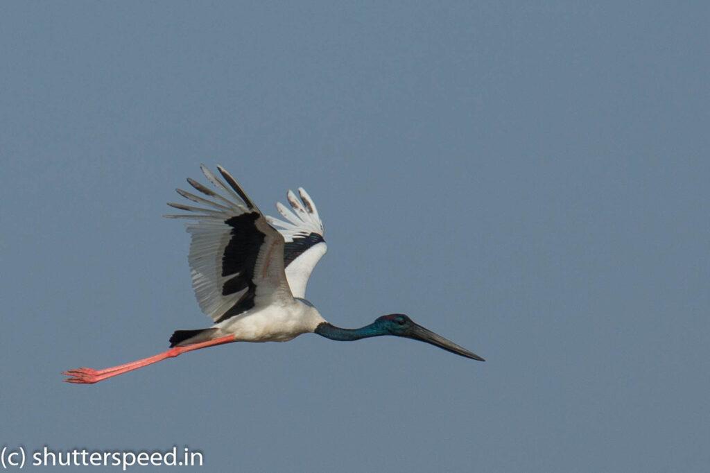 Black Necked Stork