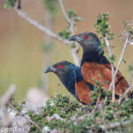 Greater Coucal Pair